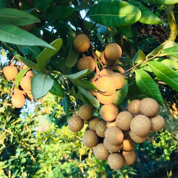 Vùng dịch Covid-19 phía nam có trên 405.000 tấn trái cây cần tiêu thụ trong tháng 9